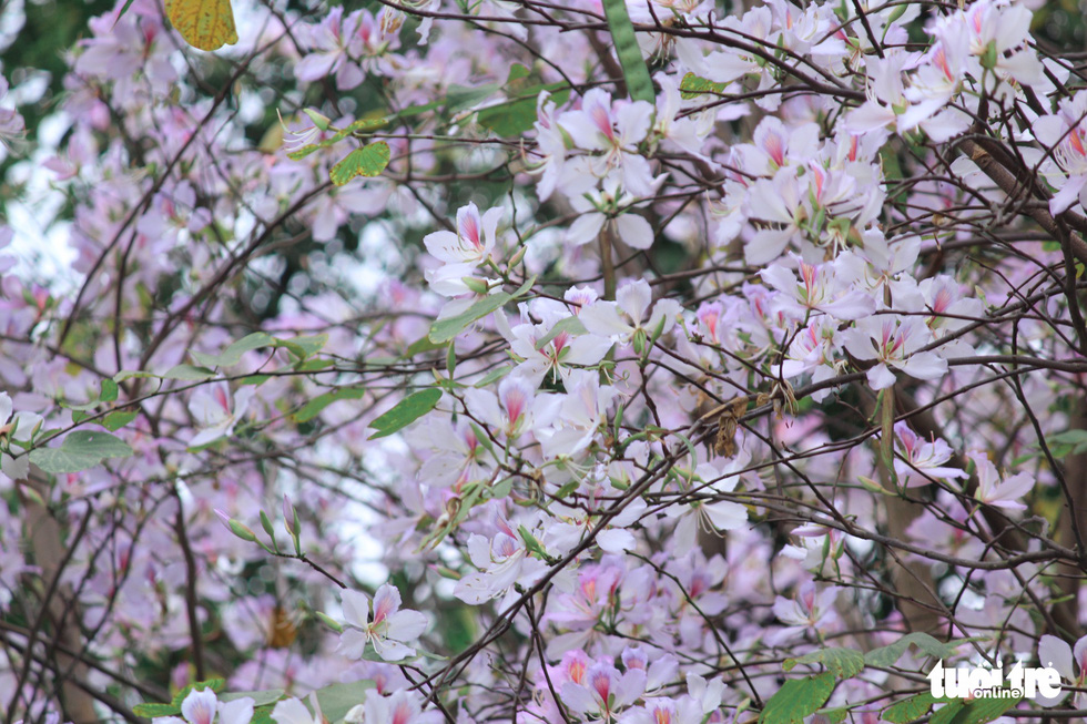 Tháng 3 hoa ban tràn về Hà Nội - Ảnh 3.