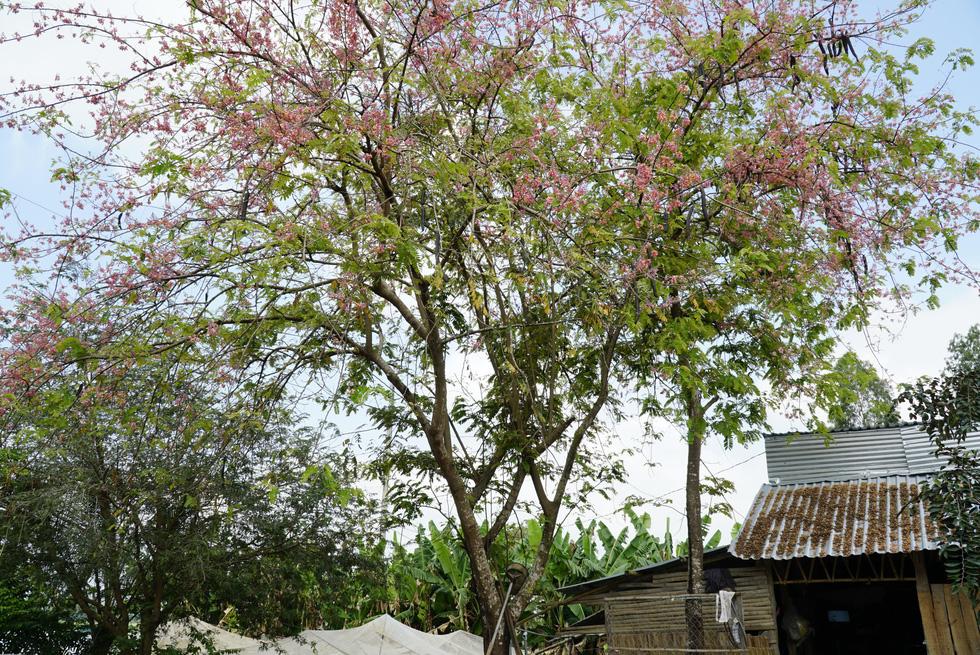 Thương ơi là thương chùm bông ô môi rực hồng tháng 3 miền Tây - Ảnh 10.