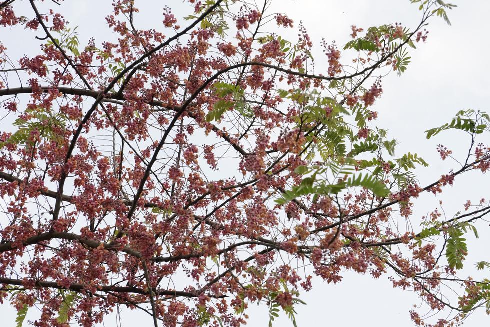 Thương ơi là thương chùm bông ô môi rực hồng tháng 3 miền Tây - Ảnh 7.