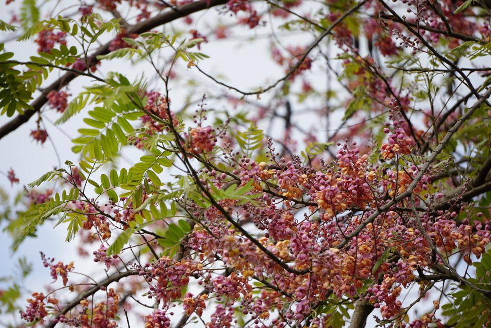 Thương ơi là thương chùm bông ô môi rực hồng tháng 3 miền Tây - Ảnh 2.