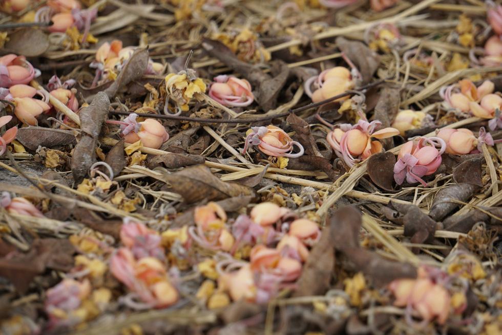 Thương ơi là thương chùm bông ô môi rực hồng tháng 3 miền Tây - Ảnh 8.