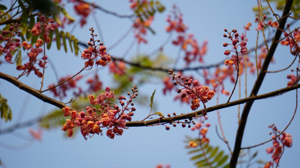 Thương ơi là thương chùm bông ô môi rực hồng tháng 3 miền Tây - Ảnh 4.