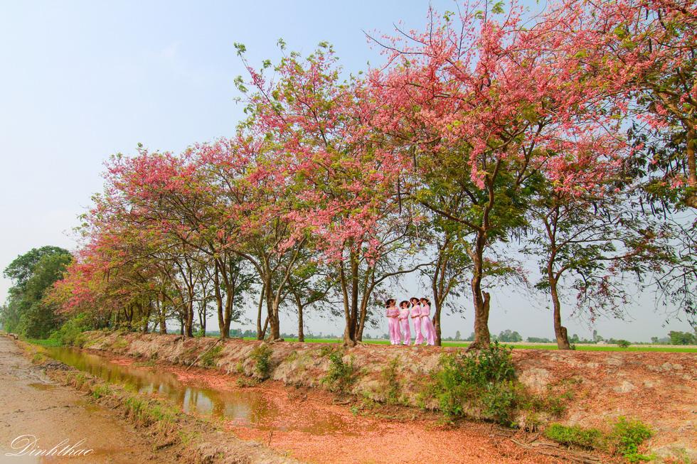Thương ơi là thương chùm bông ô môi rực hồng tháng 3 miền Tây - Ảnh 1.