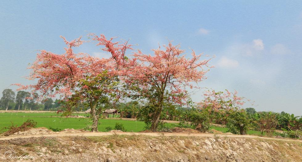 Thương ơi là thương chùm bông ô môi rực hồng tháng 3 miền Tây - Ảnh 5.