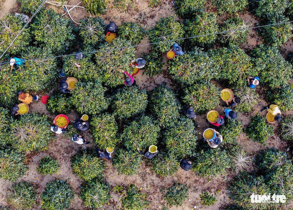 Đẹp mê ly mùa hái hạt vàng ở Đà Lạt - Ảnh 2.