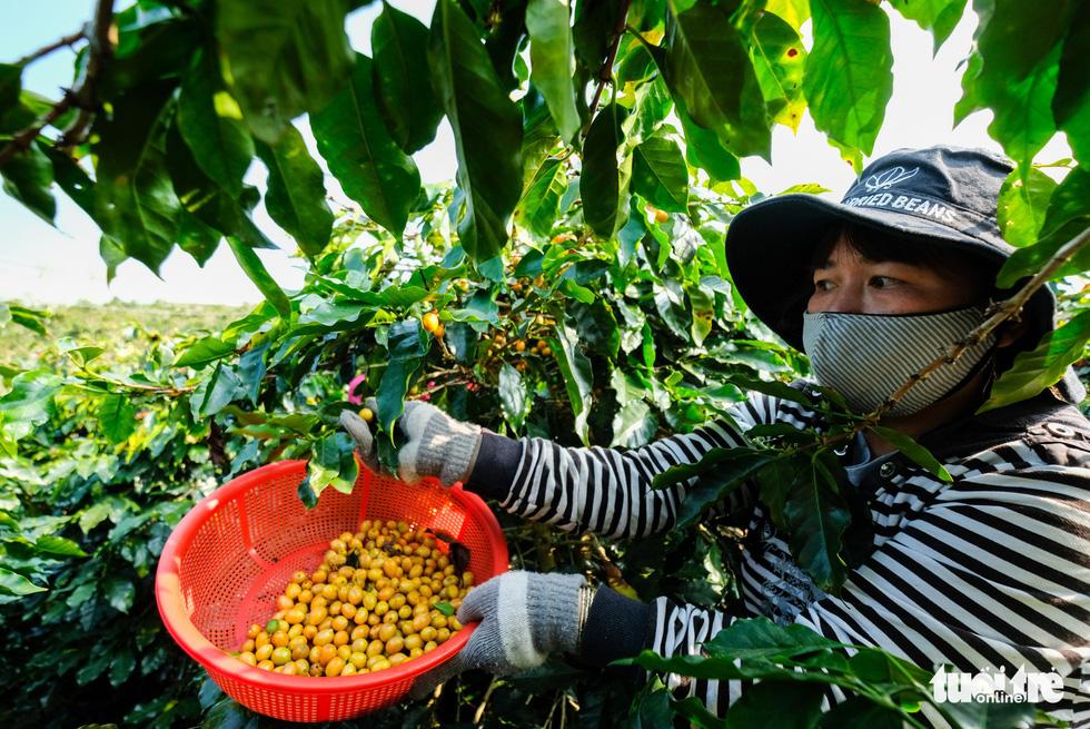 Đẹp mê ly mùa hái hạt vàng ở Đà Lạt - Ảnh 3.