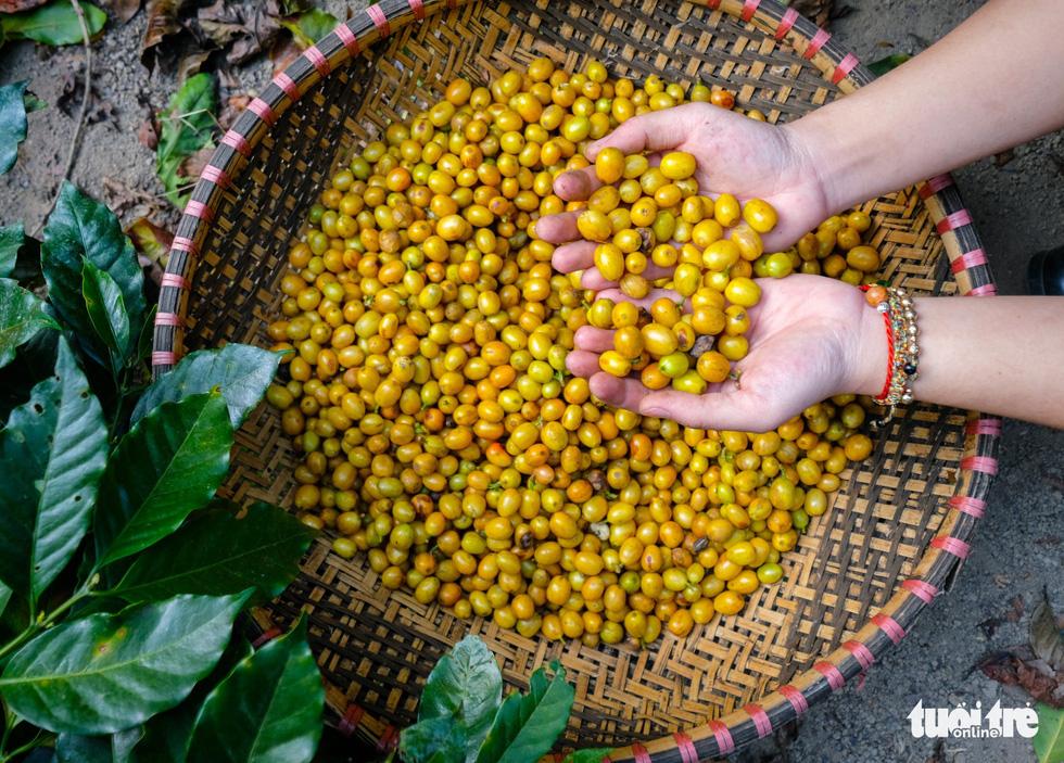 Đẹp mê ly mùa hái hạt vàng ở Đà Lạt - Ảnh 6.