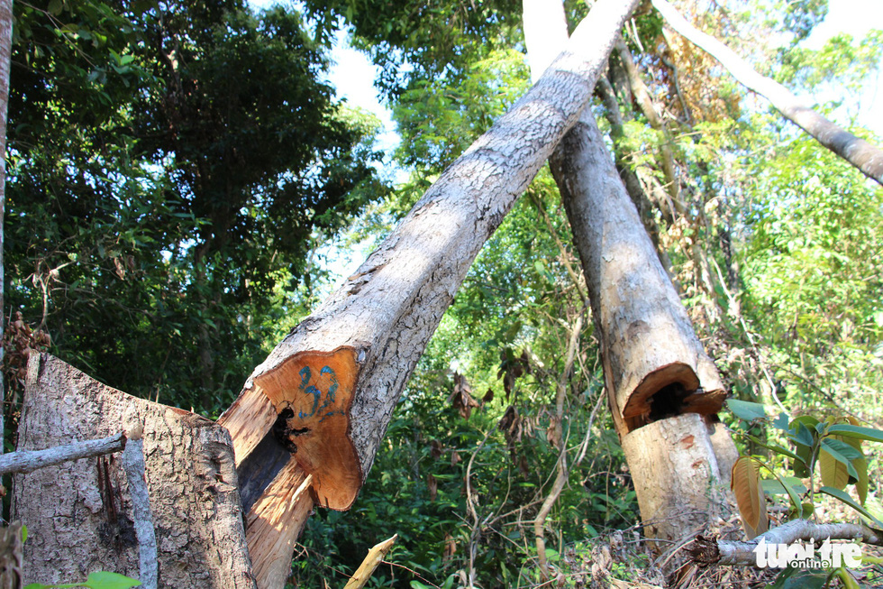 Tàn sát rừng phòng hộ đầu nguồn Ko Róa - Ảnh 4.
