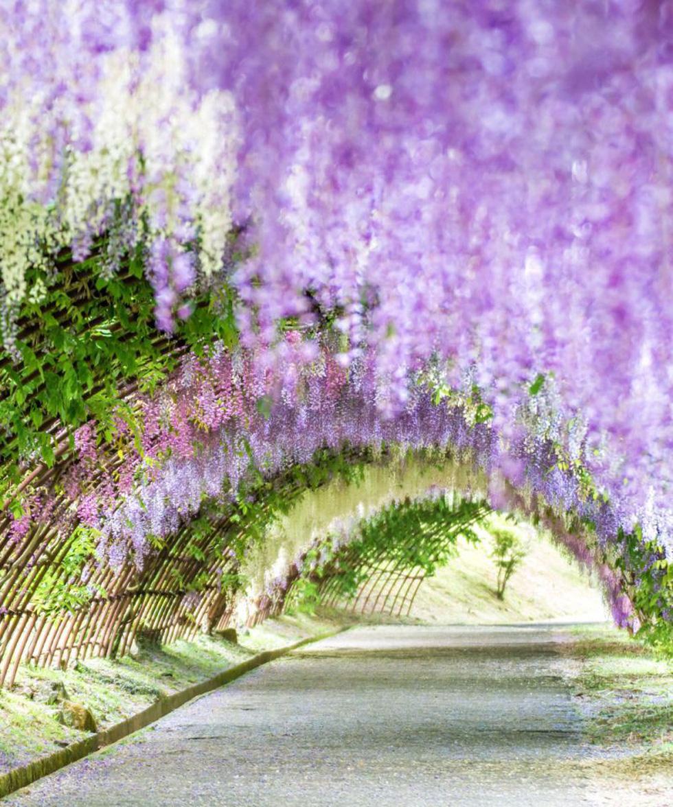 Thiên đường hoa tử đằng chờ bung nở rực rỡ tháng 5 - Ảnh 1.