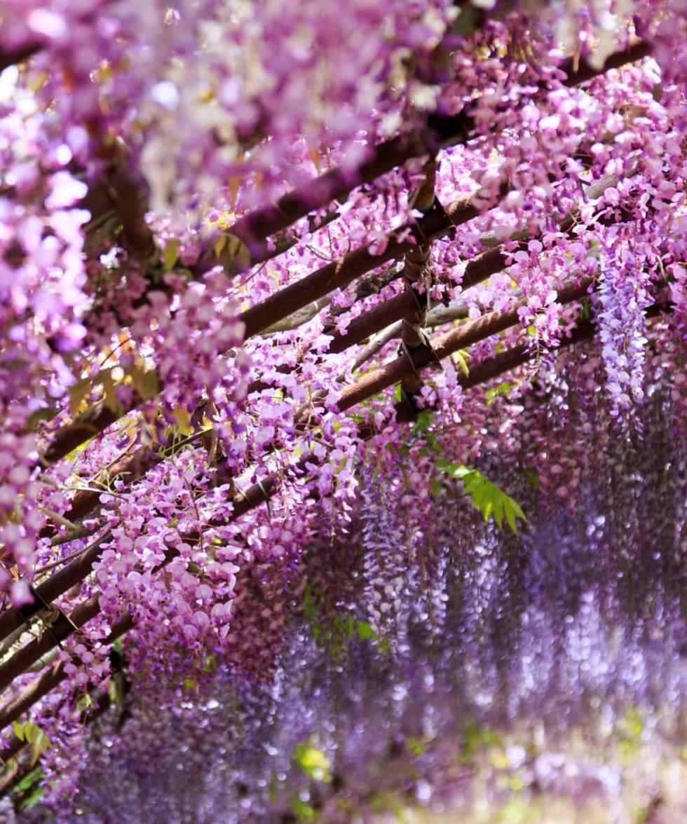 Thiên đường hoa tử đằng chờ bung nở rực rỡ tháng 5 - Ảnh 5.