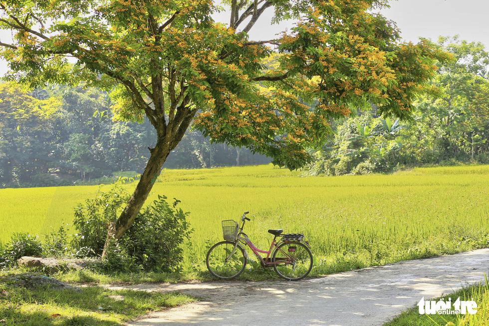 Mùa hoa sưa vàng đẹp như tranh ở xứ Quảng - Ảnh 4.