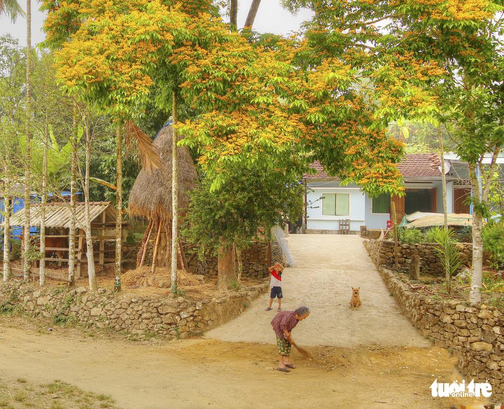 Mùa hoa sưa vàng đẹp như tranh ở xứ Quảng - Ảnh 5.