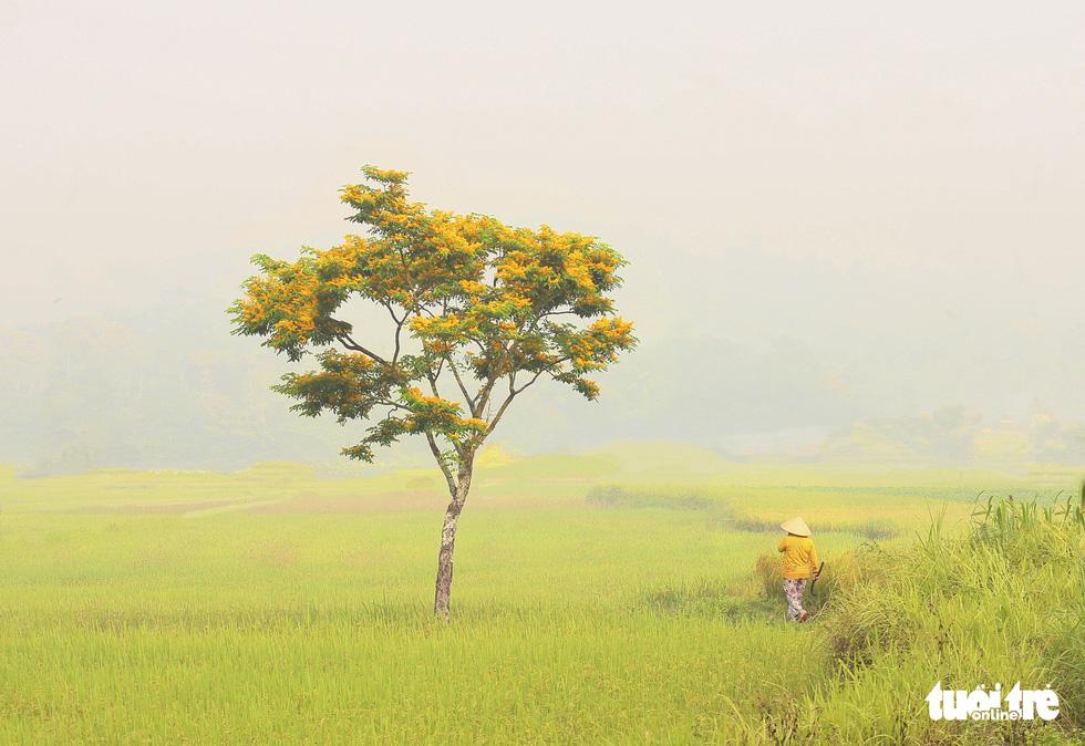 Mùa hoa sưa vàng đẹp như tranh ở xứ Quảng - Ảnh 2.