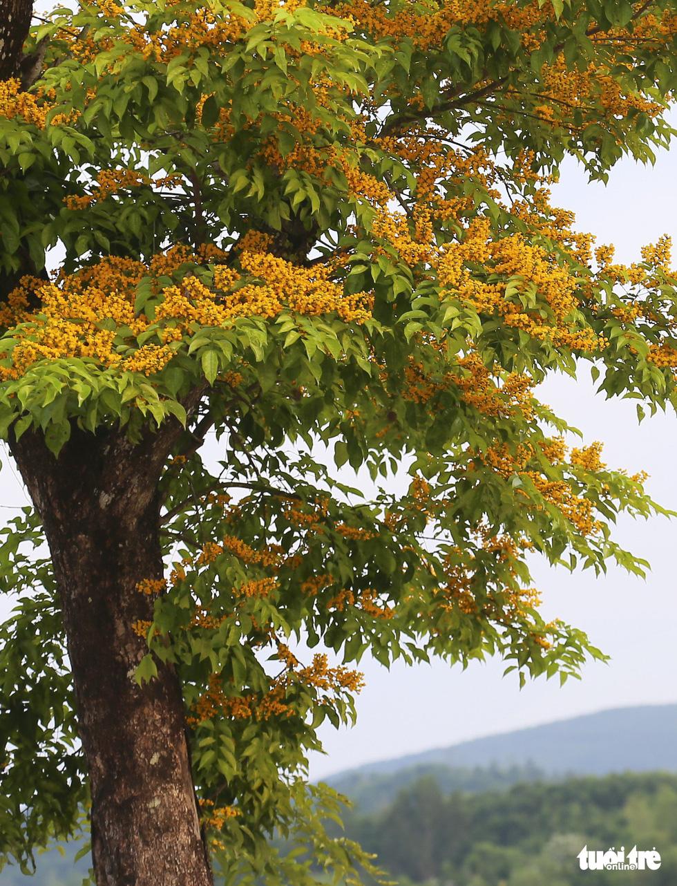 Mùa hoa sưa vàng đẹp như tranh ở xứ Quảng - Ảnh 8.