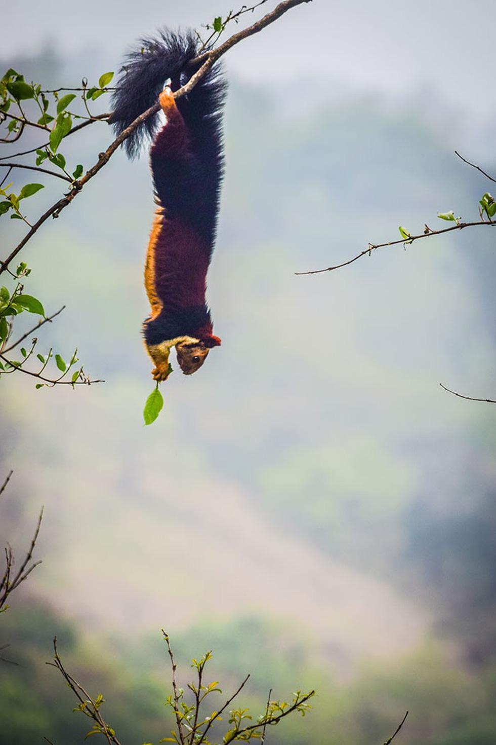 Kỳ lạ loài sóc sặc sỡ đuôi dài cả mét - Ảnh 4.