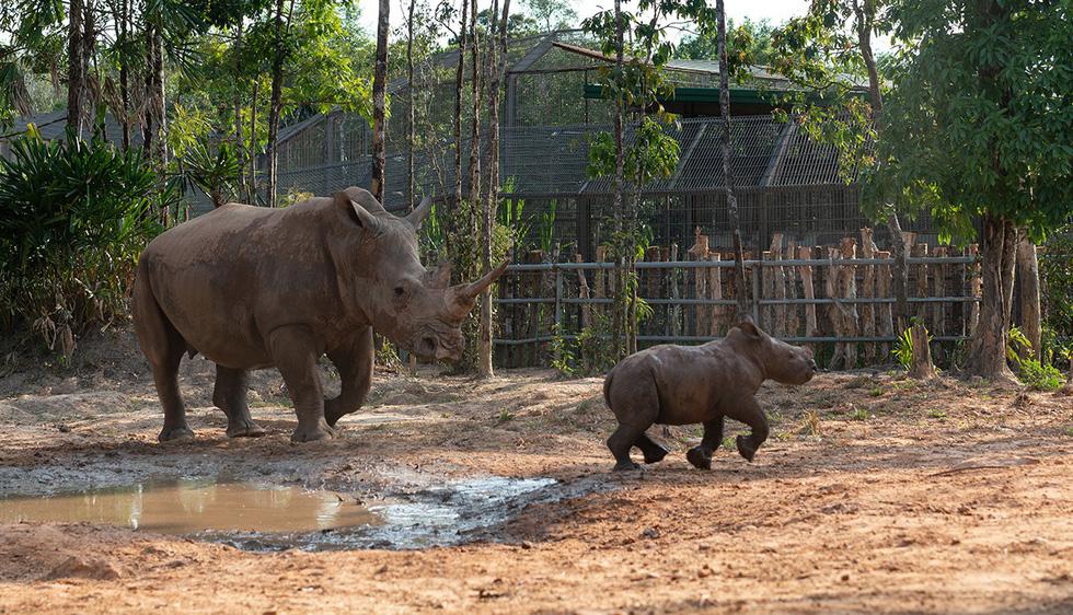 Thú vị tê giác sinh con tại Việt Nam - Ảnh 3.