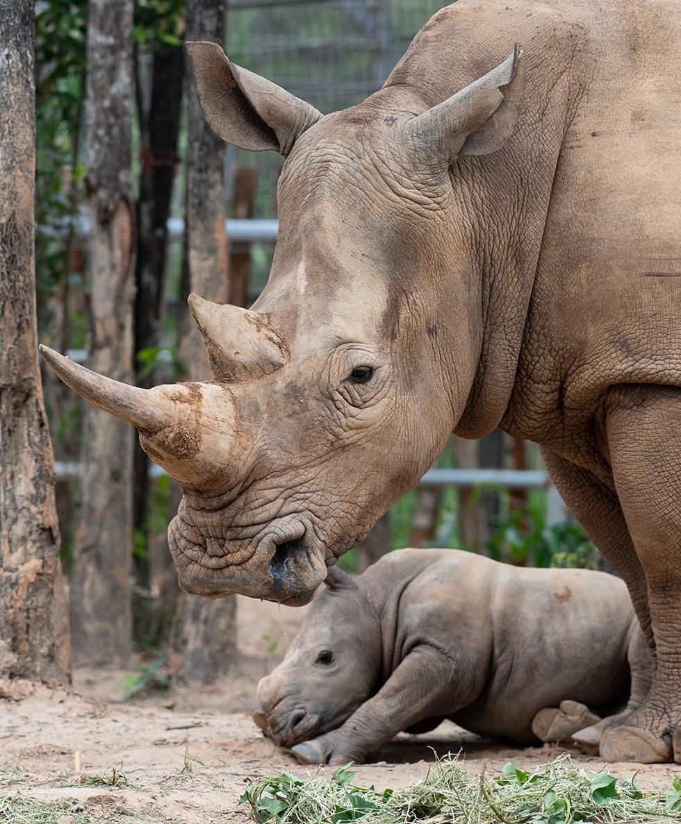 Thú vị tê giác sinh con tại Việt Nam - Ảnh 4.