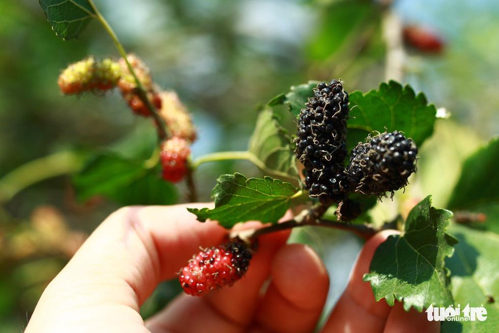 Lạc vào vườn dâu tằm mọng quả ở Hội An - Ảnh 6.