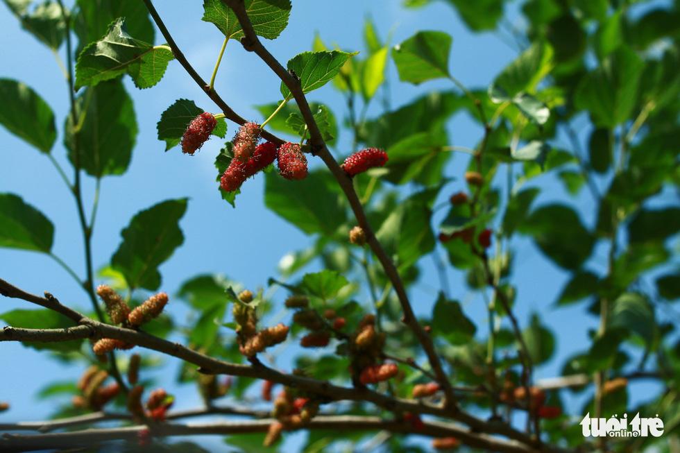 Lạc vào vườn dâu tằm mọng quả ở Hội An - Ảnh 5.