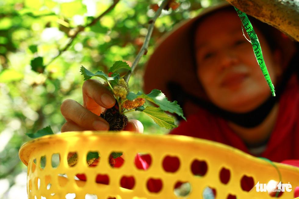 Lạc vào vườn dâu tằm mọng quả ở Hội An - Ảnh 4.