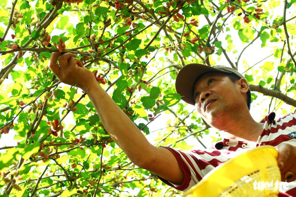 Lạc vào vườn dâu tằm mọng quả ở Hội An - Ảnh 3.