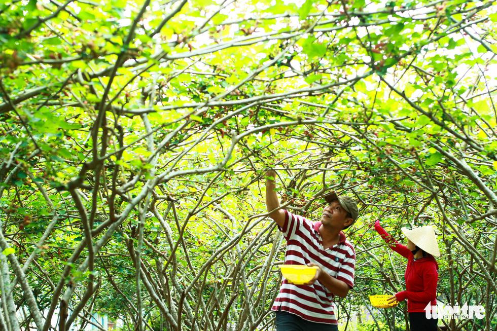 Lạc vào vườn dâu tằm mọng quả ở Hội An - Ảnh 2.