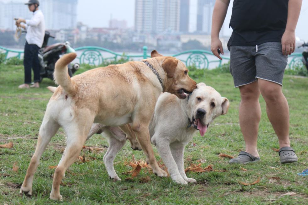 Chó không đeo rọ mõm lang thang khắp phố phường Hà Nội - Ảnh 6.