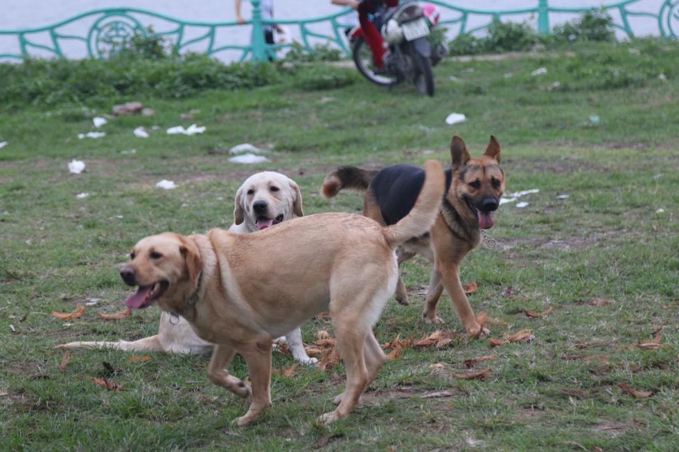 Chó không đeo rọ mõm lang thang khắp phố phường Hà Nội - Ảnh 8.