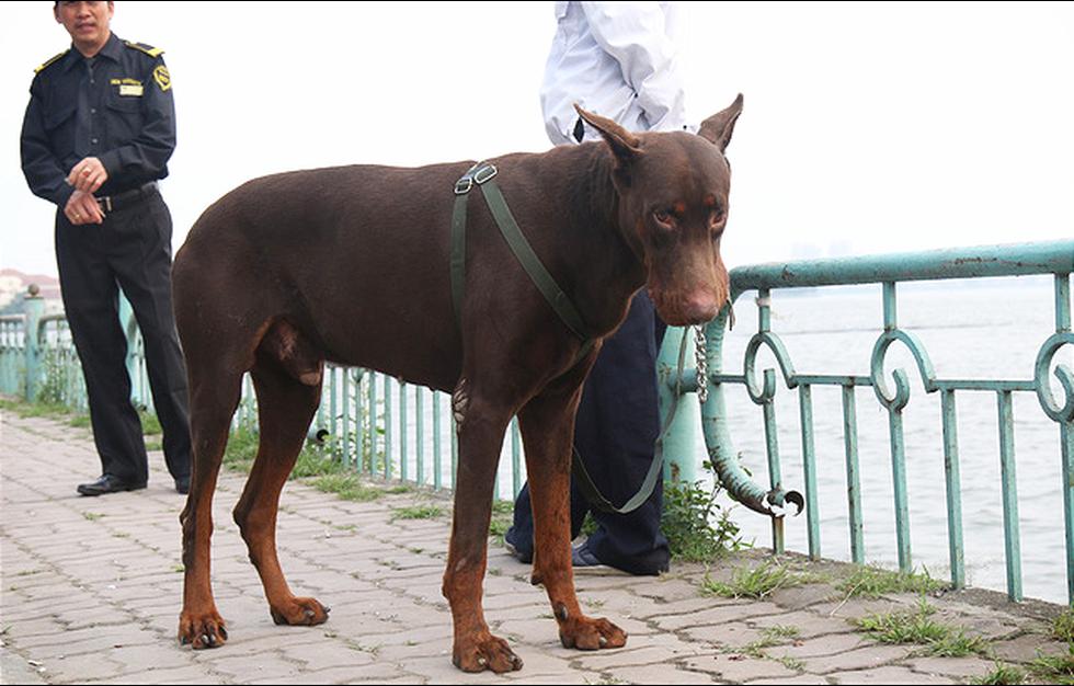 Chó không đeo rọ mõm lang thang khắp phố phường Hà Nội - Ảnh 2.
