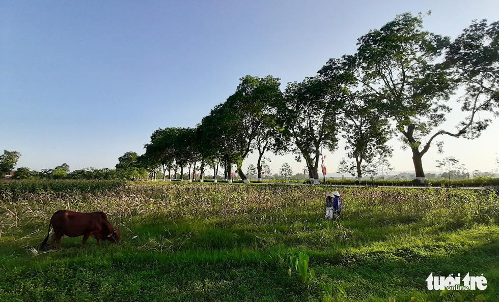 Hàng cây xà cừ hơn nửa thế kỷ trên quê hương Bác Hồ - Ảnh 6.