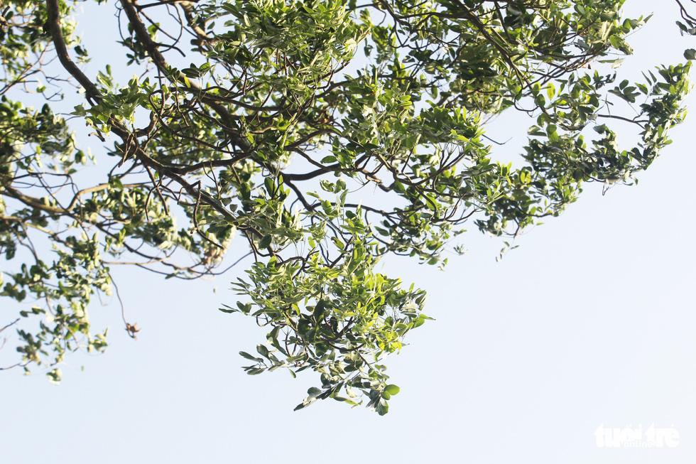 Hàng cây xà cừ hơn nửa thế kỷ trên quê hương Bác Hồ - Ảnh 5.