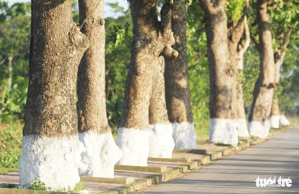 Hàng cây xà cừ hơn nửa thế kỷ trên quê hương Bác Hồ - Ảnh 7.