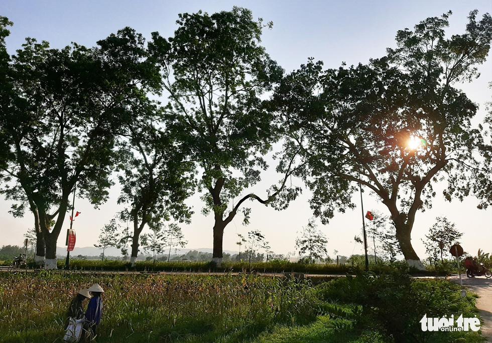 Hàng cây xà cừ hơn nửa thế kỷ trên quê hương Bác Hồ - Ảnh 11.