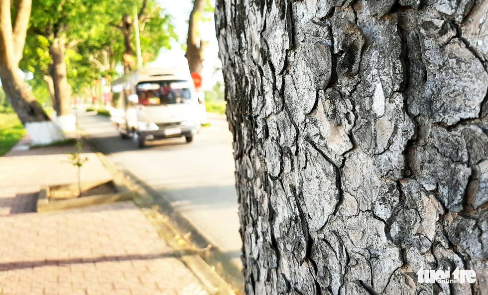 Hàng cây xà cừ hơn nửa thế kỷ trên quê hương Bác Hồ - Ảnh 4.