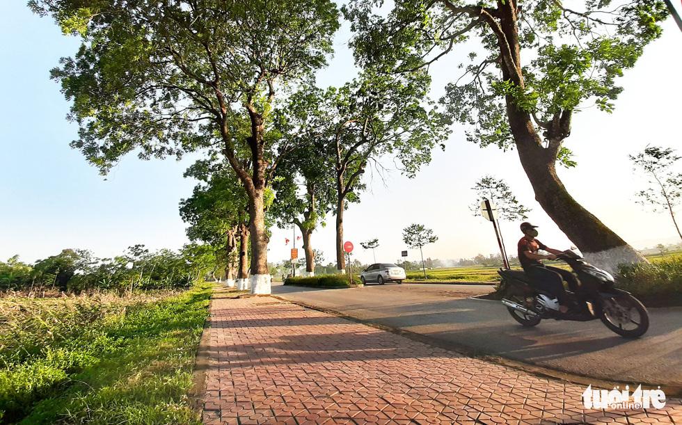 Hàng cây xà cừ hơn nửa thế kỷ trên quê hương Bác Hồ - Ảnh 8.
