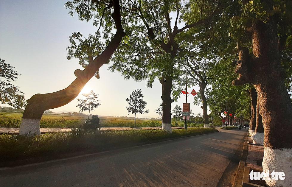 Hàng cây xà cừ hơn nửa thế kỷ trên quê hương Bác Hồ - Ảnh 9.