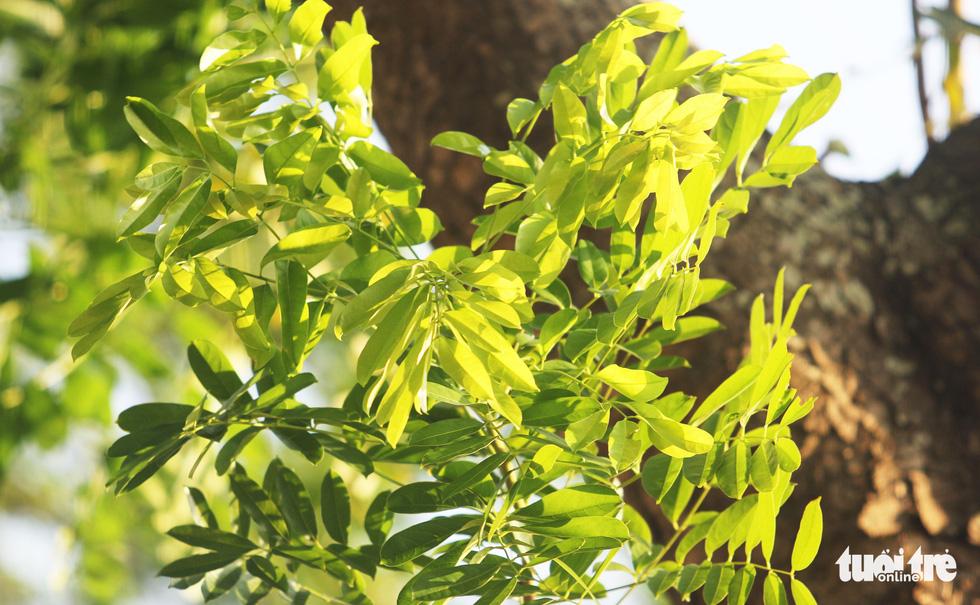 Hàng cây xà cừ hơn nửa thế kỷ trên quê hương Bác Hồ - Ảnh 10.