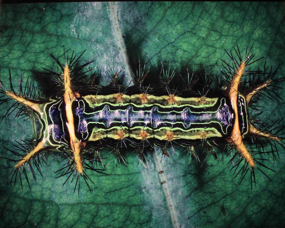 Thế giới côn trùng Việt Nam đẹp lộng lẫy qua mắt nhiếp ảnh gia Ý - Ảnh 25.
