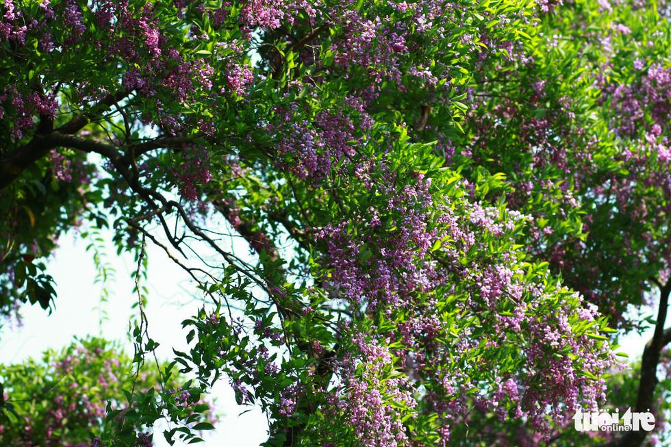 Hoa thàn mát nhuộm tím bán đảo Sơn Trà - Ảnh 1.