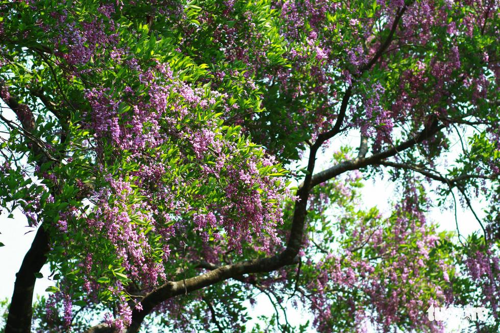 Hoa thàn mát nhuộm tím bán đảo Sơn Trà - Ảnh 2.