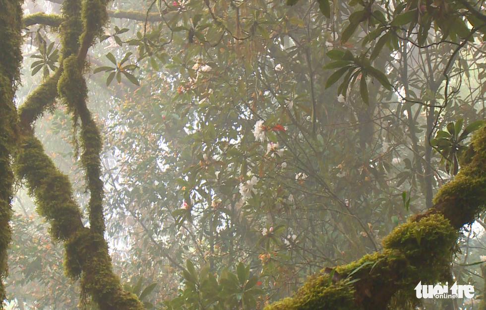 Khám phá rừng đỗ quyên cổ trên đỉnh Trường Sơn - Ảnh 3.