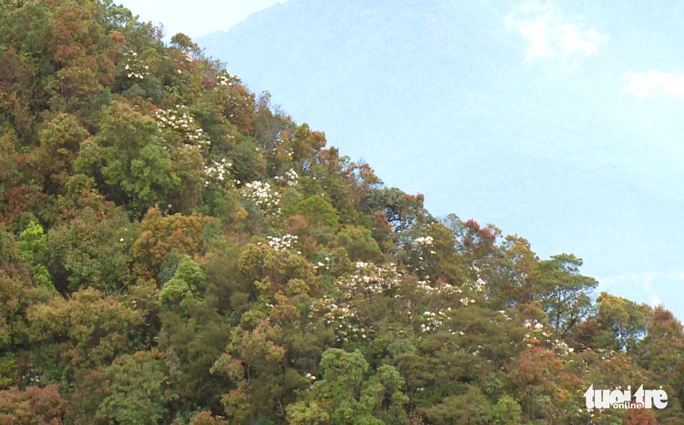 Khám phá rừng đỗ quyên cổ trên đỉnh Trường Sơn - Ảnh 12.