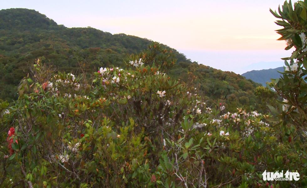 Khám phá rừng đỗ quyên cổ trên đỉnh Trường Sơn - Ảnh 6.