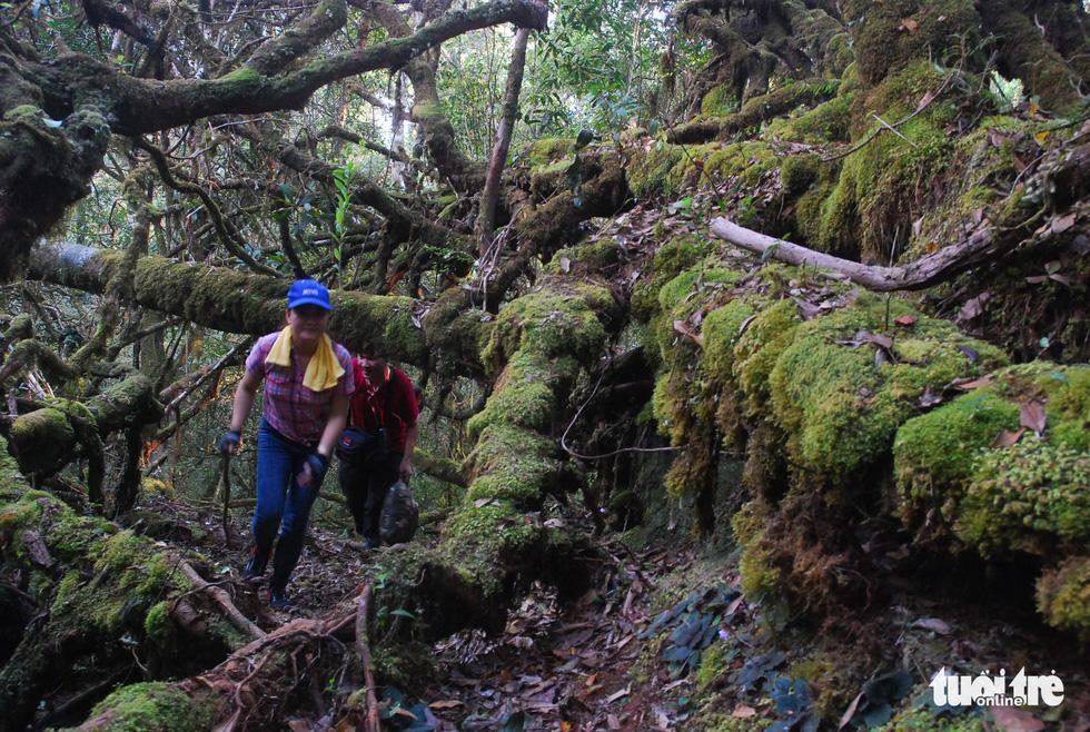 Khám phá rừng đỗ quyên cổ trên đỉnh Trường Sơn - Ảnh 13.