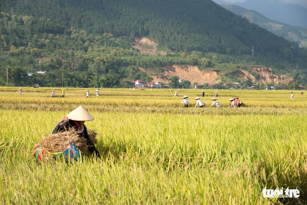 Mùa lúa vàng trên cánh đồng Mường Tấc vùng Tây Bắc - Ảnh 1.