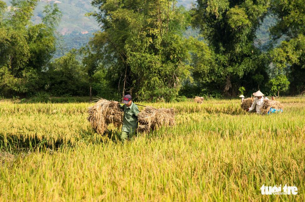 Mùa lúa vàng trên cánh đồng Mường Tấc vùng Tây Bắc - Ảnh 2.