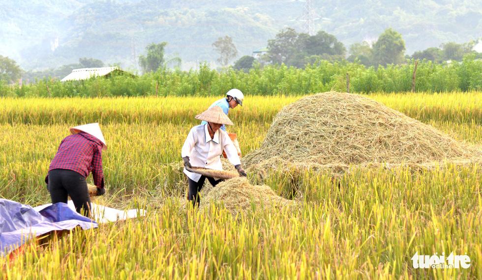 Mùa lúa vàng trên cánh đồng Mường Tấc vùng Tây Bắc - Ảnh 4.