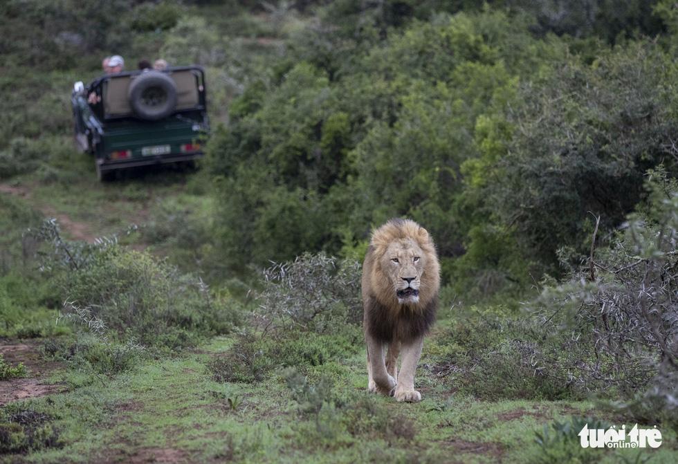 Thót tim ngắm sư tử từ xe mui trần ở Nam Phi - Ảnh 4.