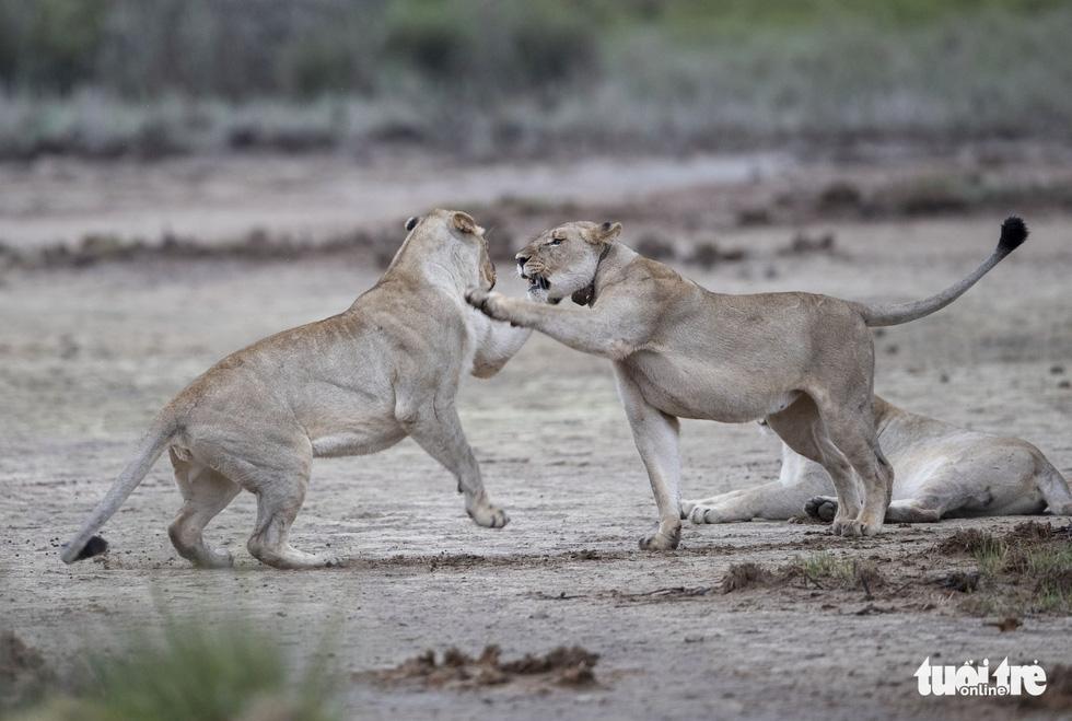 Thót tim ngắm sư tử từ xe mui trần ở Nam Phi - Ảnh 3.