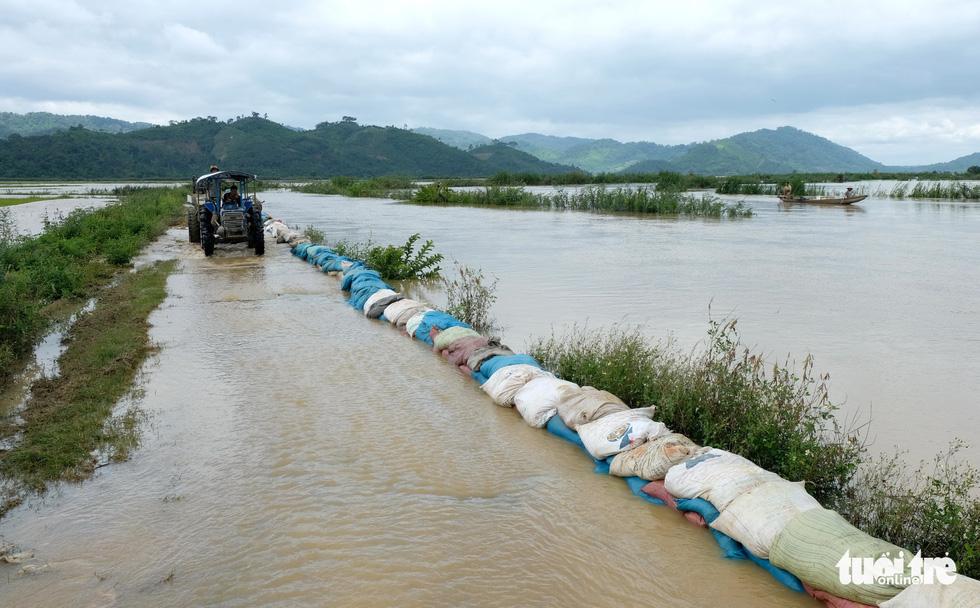 Cả làng đắp đê suốt 3 ngày đêm, cứu hơn 1.000ha lúa sắp thu hoạch - Ảnh 2.